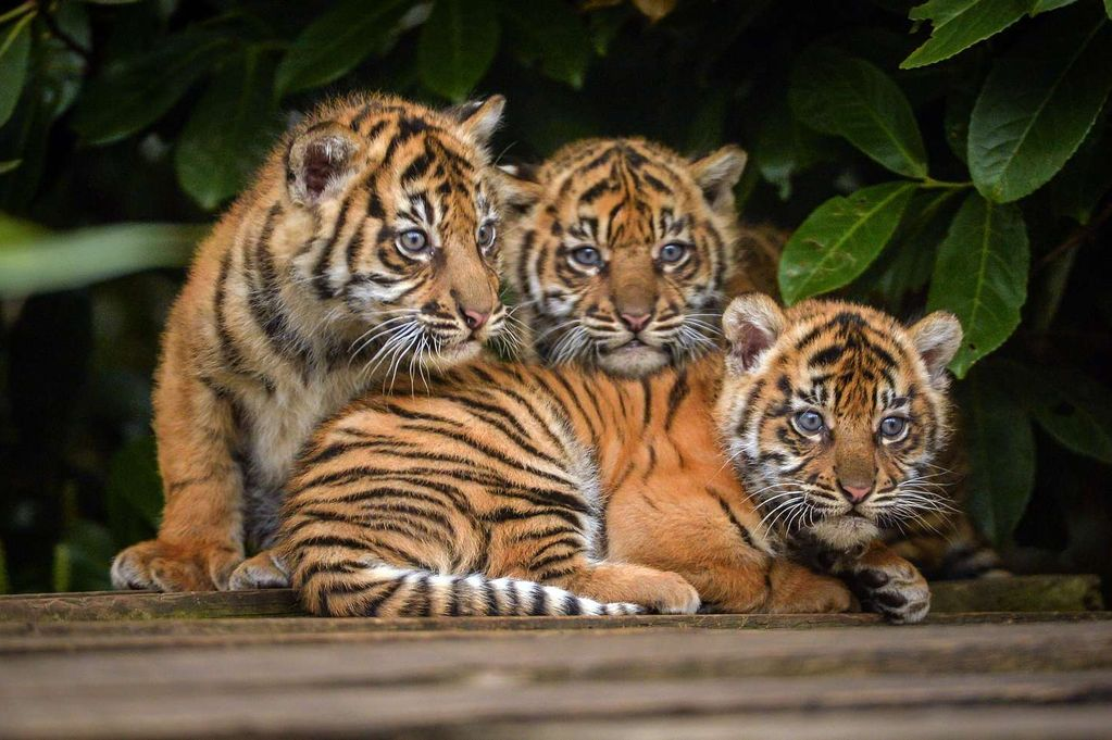 The-three-cubs-together-after-their-check-ups-2